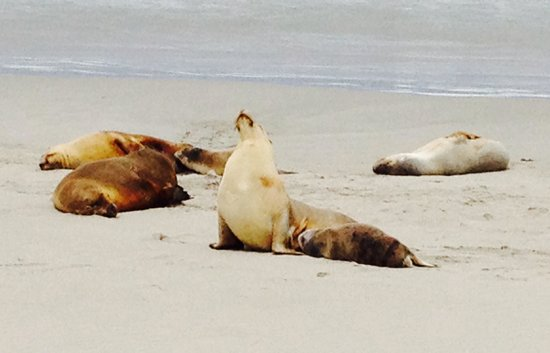 Seal Bay Conservation Park: Group of sea lions basking in the sun