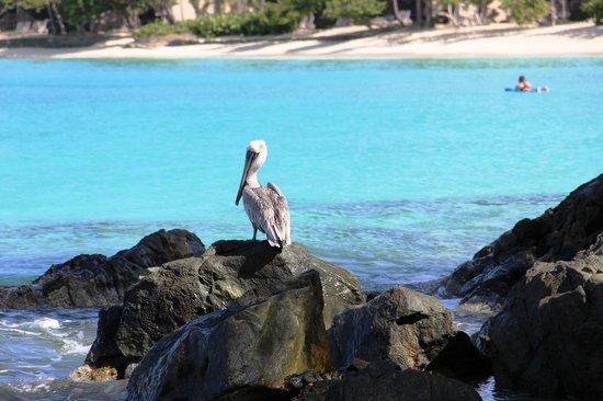 Caneel Bay Resort : Pelican at Scott Beach