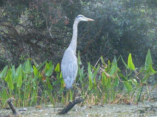 Everglades Rentals & Eco Adventures: Great Heron
