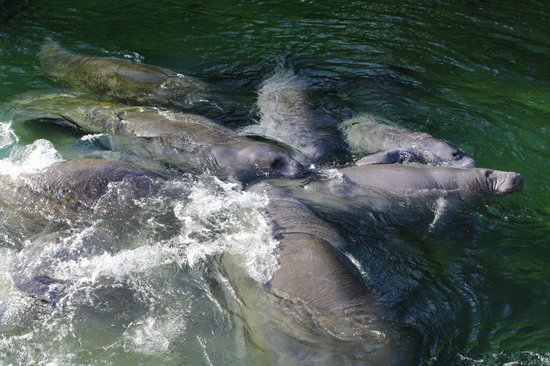 Blue Spring State Park : Up Close with the manatees Sun 1-19-14