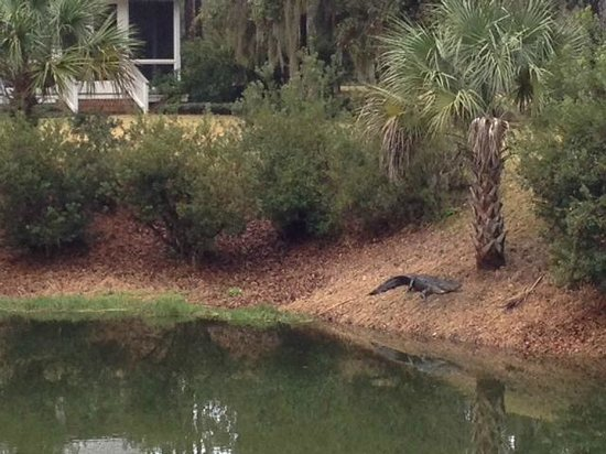 Montage Palmetto Bluff: Mr. Alligator was taking a nap on the bank of the lagoon.