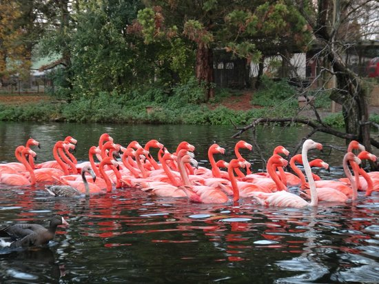 Heidelberg Zoo : Flamingoes