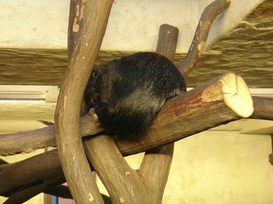 Heidelberg Zoo : Sleeping binturong