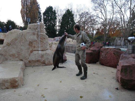 Heidelberg Zoo : Seal & sea lion show