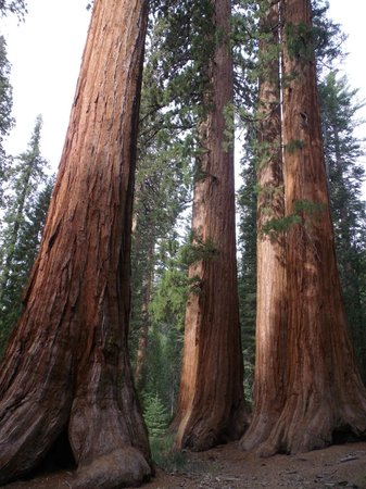 Mariposa Grove of Giant Sequoias: Giants Sequoias