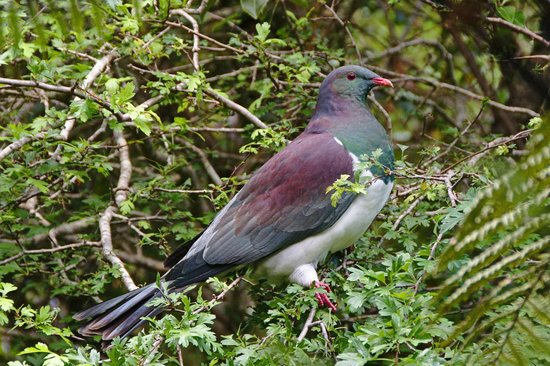 Port Of Call : Kererū, New Zealand wood pigeon