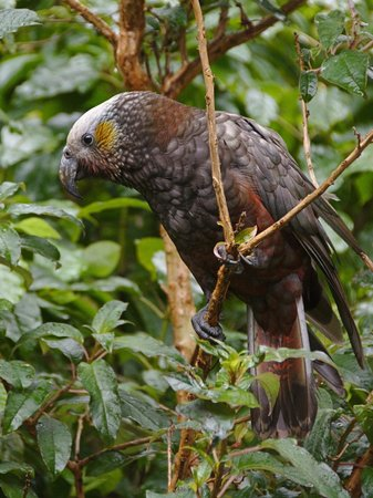 Port Of Call : Kākā sitting on tree branch