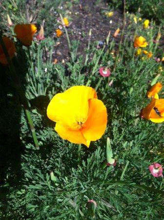 San Francisco Botanical Garden: California state flower