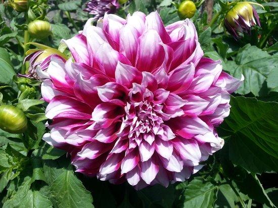Rose Gardens: huge flower