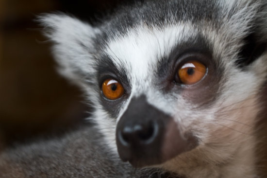 Ponteland, UK: Ring Tailed Lemur