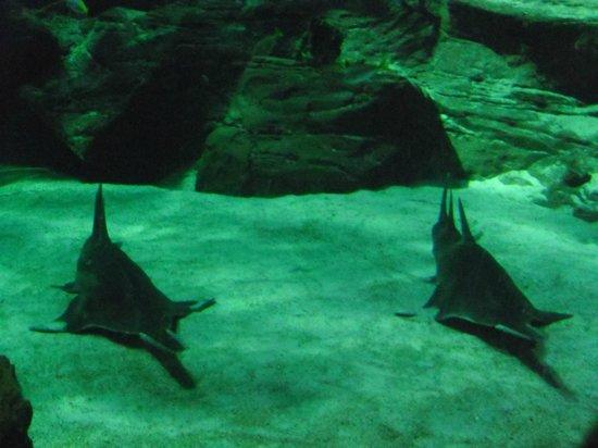Aquarium Mare Nostrum : Requins