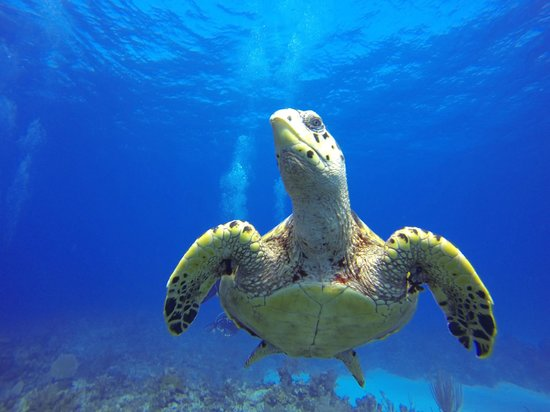 Little Cayman Beach Resort : Turtle
