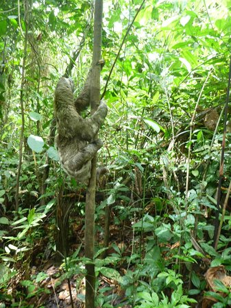 Maniti Expeditions Eco-Lodge & Tours Iquitos: Sloth