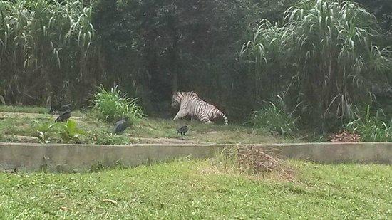 Sao Paulo Zoo: O tigre branco sem um minuto de paz para cochilar por causa dos urubus.