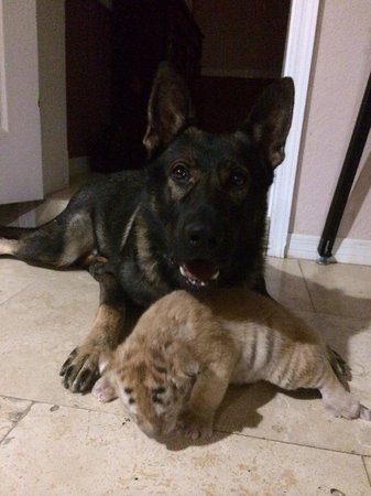 Zoological Wildlife Foundation: Igor, our German Shepherd with Durga our four week old Tabby Bengal Tiger cub...
