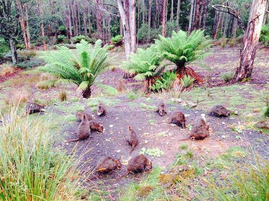 Lemonthyme Wilderness Retreat: Wallabies