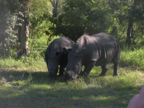 Elephant Plains Game Lodge: rhinos