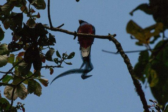 Boquete, Panama: Quetzal