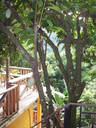 El Muro Lanquin: albero di cacao