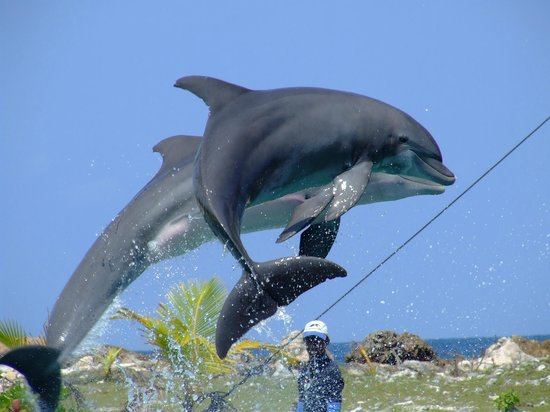 Dolphin Cove  |  St. Ann, Ocho Rios, Jamaica Jamaica's Number One Attraction.