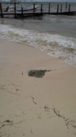 Azul Beach Hotel: People fishing off the pier go this stingray!