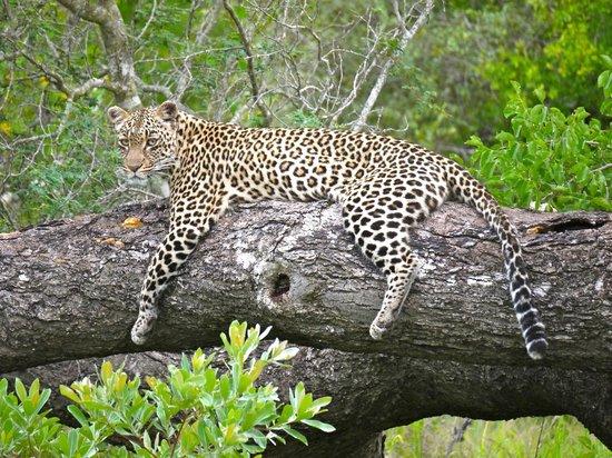 Arathusa Safari Lodge: Leopard siting
