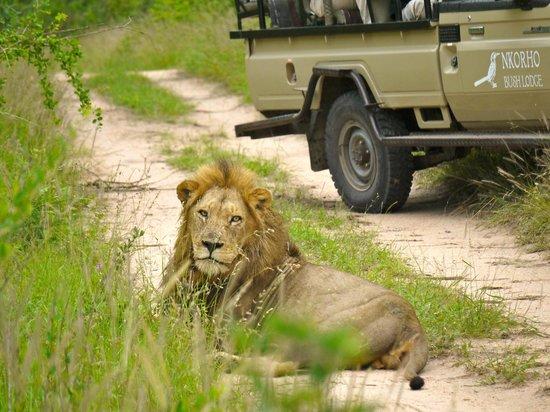 Arathusa Safari Lodge: Lion siting