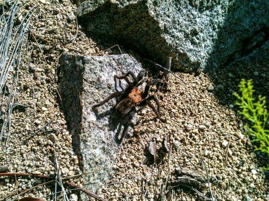 Aguirre Spring National Recreation Area: Una tarantula por el camino