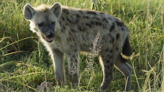 Amboseli National Park: Гиена