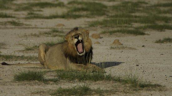 Amboseli National Park: Симба