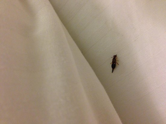 Wine Valley Inn & Cottages : Pincher Bug 1 - Under our Pilow (His brother hitch hiked home with us in our luggage)