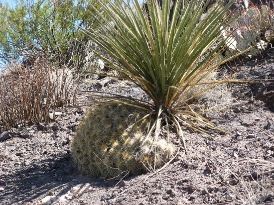 Hedgehog Cactus and Desert Spoon - Picture of Mule Ears ...