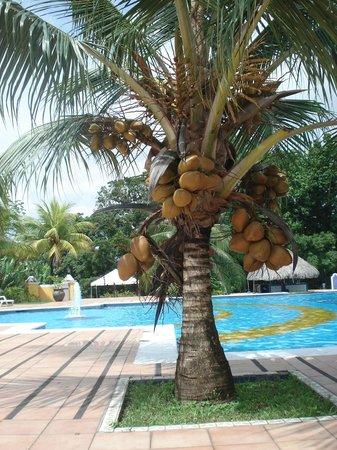 Melia Panama Canal: Coqueiro na área da piscina