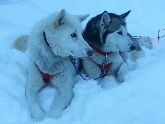 Absaroka Dogsled Treks: Nikko & Chinook