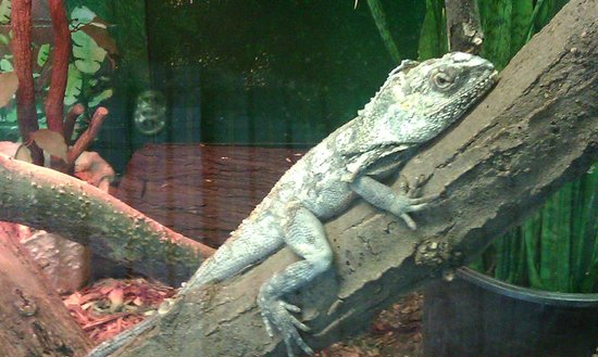 Lincoln Children's Zoo: An unusually large Frilled Dragon