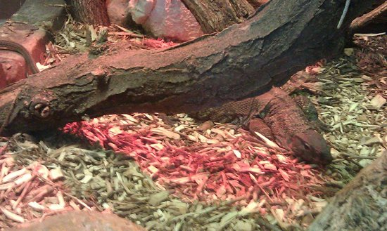 Lincoln Children's Zoo: The Dumeril's Monitor is a rare lizard in American zoos.