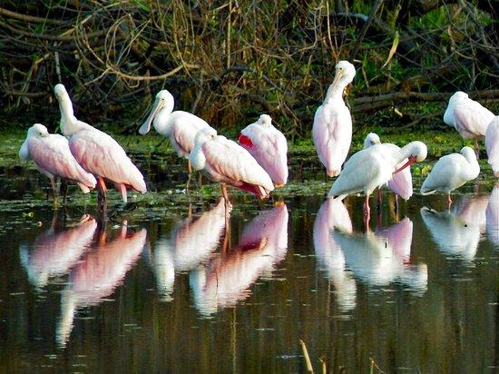 Myakka River State Park: Roseate Spoonbills