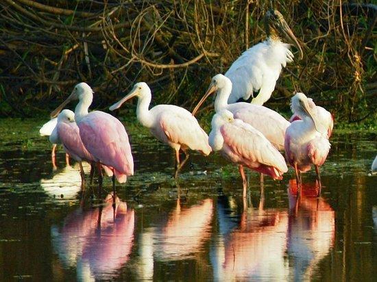 Myakka River State Park: Roseate Spoonbills, Wood Stork