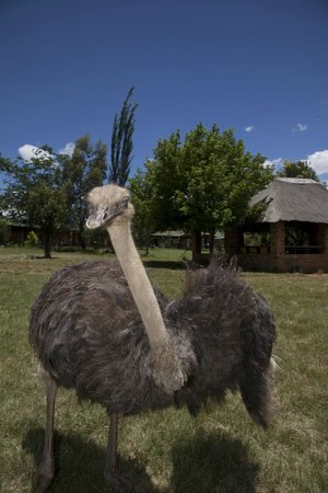Airport Game Lodge : A chick with long legs...