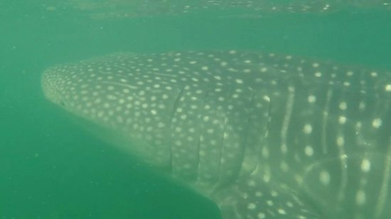 Cabinas Jimenez: Whale Shark