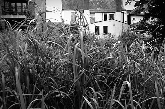 Reeds along the banks of The Grand Canal near Locks Brasserie