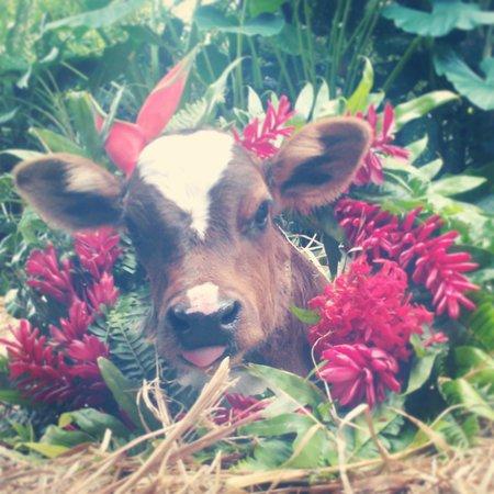 Cool M Farm : Meet Eddie! Our Christmas calf! Last calf of 2013