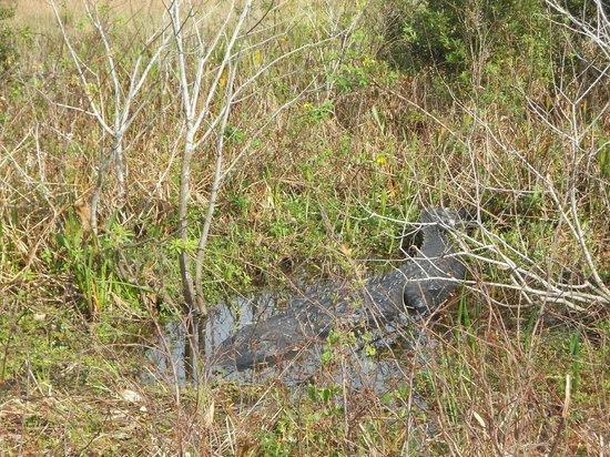 Spirit of the Swamp Airboat Tours : Alligator on Swamp Tour