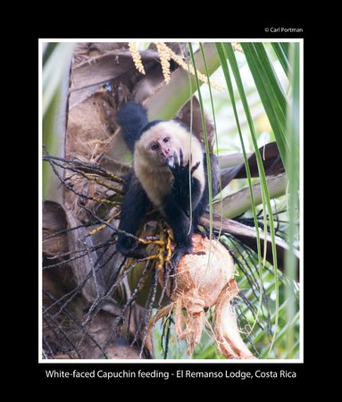 El Remanso Lodge : This animal is wild but they come so close to El Remanso.