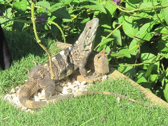 Agua Vista: iguana