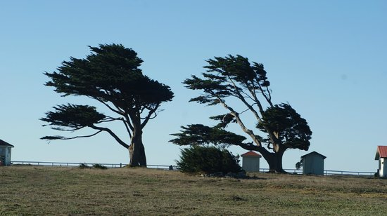 "Point Arena Lighthouse: The ""wind swept"" trees"