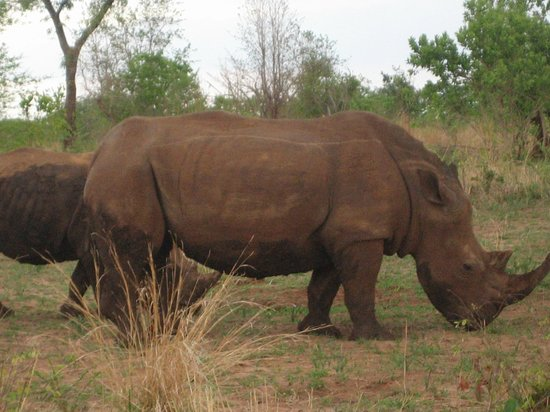Wilderness Safaris Toka Leya Camp : White Rhino, help save them!