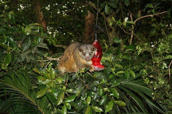Monteverde Cloud Forest Biological Reserve: a kinkajou raids a hummingbird feeder