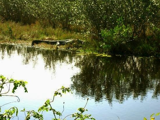 Fort Clinch State Park: Sleepy alligators frequent the trails