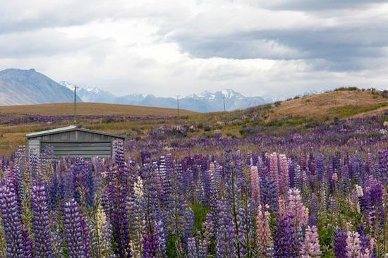 Lake Tekapo Lodge: lupin field just a few km from the Lodge
